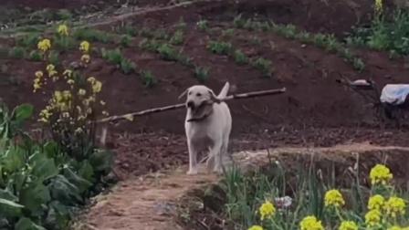 狗狗偷吃甘蔗就算了,还知道带一根回家,真是没白养
