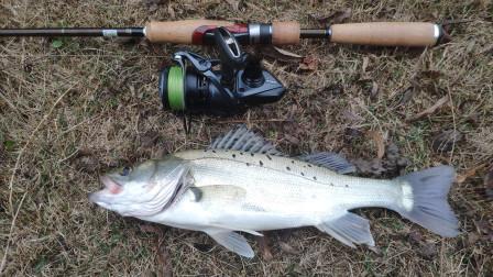 离岸1米咚一下中鱼,这河里会有海鲈?围观大叔直呼不相信