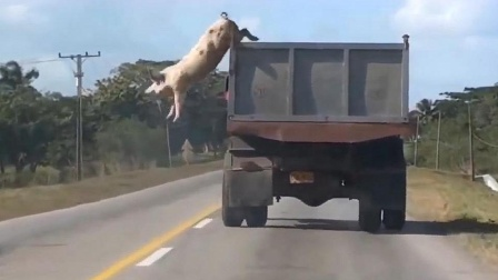 母猪从车上一跃而下,结果猪算不如天算,请大家憋住别笑!