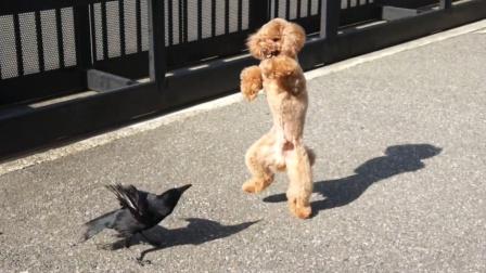 日本乌鸦有多坏,看它对泰迪犬的所作所为,简直可恶!