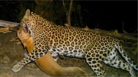 豹子深夜闯进居民家,盯上睡得正香的狗子,场面瞬间失去控制!