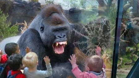 大猩猩被熊孩子激怒,一拳击碎了钢化玻璃,镜头拍下全过程!