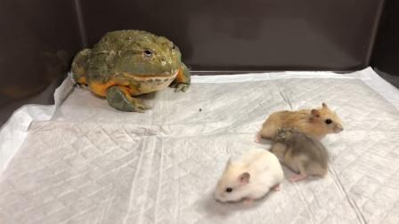 把青蛙和仓鼠放在一起饲养,结果傻眼了,青蛙竟然这么凶?