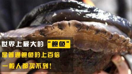 世界上最大的鲍鱼,是普通鲍鱼的上百倍,一般人都买不到!