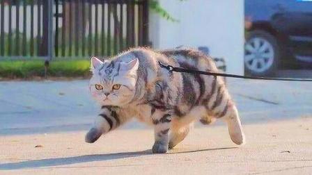 从小和老虎长大的猫,走路六亲不认,放回猫群中会变成什么样子?
