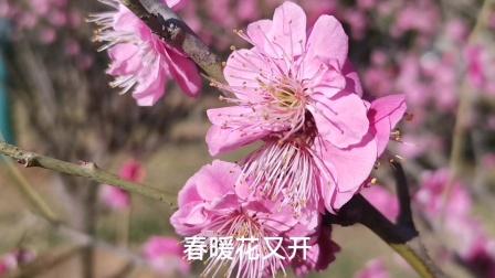 春暖花又开,红梅迎春,新年花开第一枝