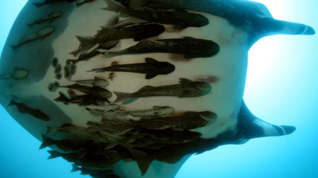 最懒的鱼,爱搭顺风车周游世界,却启发科学家发明了捕捞器!