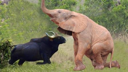 大象生气时,究竟有多可怕?看看这头野牛的下场你就知道了!