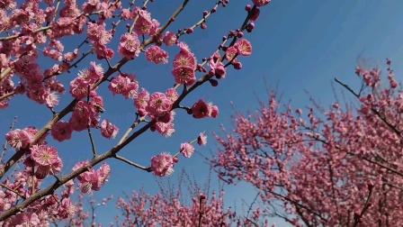 冬去春来,花谢花飞花满天