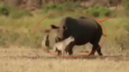"""鬣狗准备掏肛犀牛,怎料犀牛直接""""放大招"""",鬣狗:好臭"""