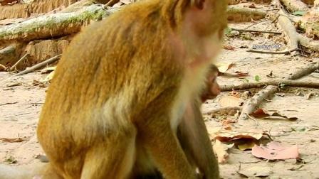 小猴蹦蹦跳跳来到妈妈跟前,猴妈妈眼睛不睁一下,网友:鼻子酸了