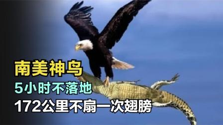 172公里只扇一次翅膀!这种猛禽重达20斤