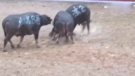 乡村斗牛:雨中滚龙式斗牛,要三头牛放在一起斗!