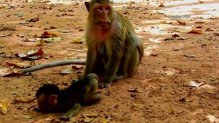 撒娇也要看时间,猴妈妈现在很不开心,托马又挨打了!