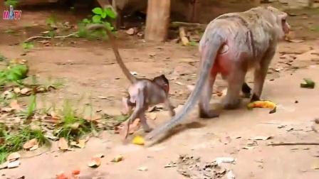 擅长爬树的小猴让身材臃肿的猴妈妈大吃一惊!