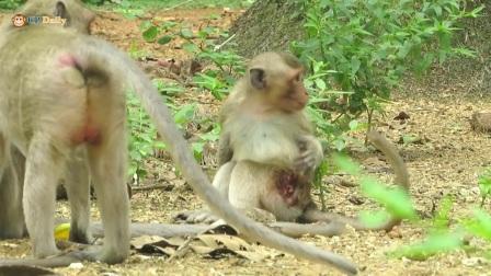 整日依赖于上树的猴子腿部竟然受了伤,太不小心了。