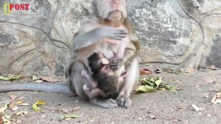 新生小猴很难得到牛奶和照顾,饥饿的猴宝宝对猴妈妈科拉充满仇恨