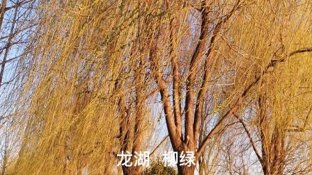 春风送暖,万物复苏,柳树又发新芽