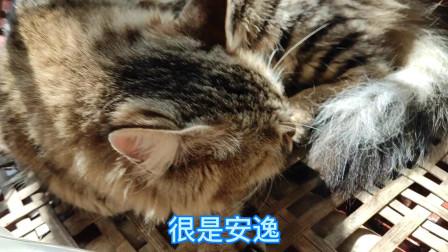 狸花猫最近哪都不去了,就窝在家里睡觉。