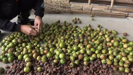 """80块一斤,农村人把它视为""""宝油""""""""长生油""""的茶仔,丰收咯"""