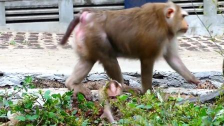 母猴要被小猴逼疯了,小猴总是到处乱跑,当妈的可急坏了!