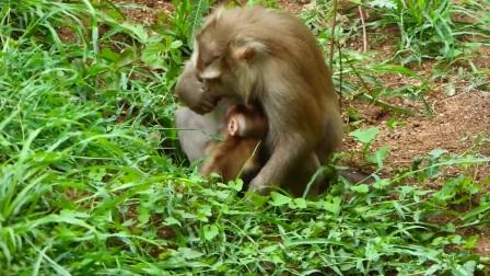 母猴越来越讨厌小猴了,它一点也不想给小猴喂奶!