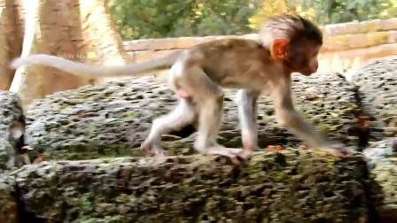 气愤!猴妈吃橘子,猴宝宝吃残渣,游客看不下去了!