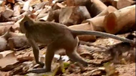 气愤!猴宝宝被坏猴子拖的惨不忍睹,真想狠狠教训它!