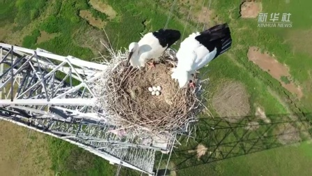 东方白鹳: 这个铁塔我承包! 连续两年筑巢孵卵