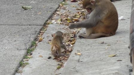 猴界的颜值担当!第一次见到这么可爱的猴宝宝,长大还得了