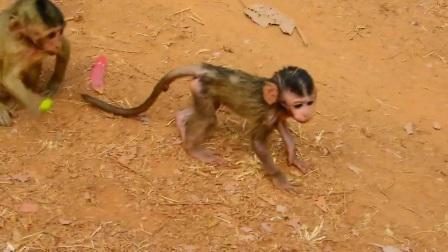 猴群为了争夺食物非常吝啬,大猴子无情无义,小猴子最可怜!