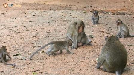 猴群大乱,一家猴群为何反目成仇?我们一起去探个究竟