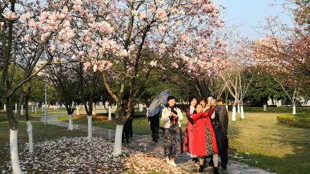 藏不住的春色:衡阳市太阳广场玉兰花开,落叶缤纷,诗情画意