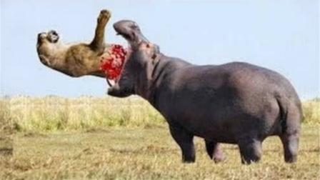 """狮子作死去挑衅河马,没想到下秒反被""""爆头"""",不作不会死!"""