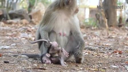这个猴妈毫无猴性!无故虐待小猴子,还残忍抛弃!