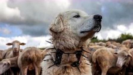 为啥防狼项圈让狼群害怕至极?看完佩服游牧民族,网友:太聪明!
