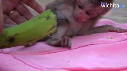 在以前,小猴看见香蕉,肯定拿走,现在连抬头的力气也没有!