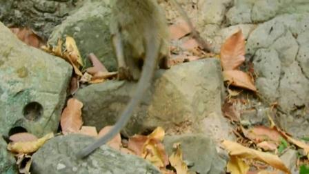 大猴子卿卿我我抓虱子,小猴子老捣乱,小模样萌化了!
