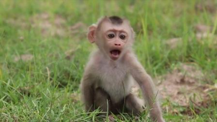 孤儿小猴子在稻田里迷路,这哭泣声太让人心疼了!