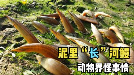 4件动物界令人费解的事情,泥里长出的河鳗,人们争相采摘?