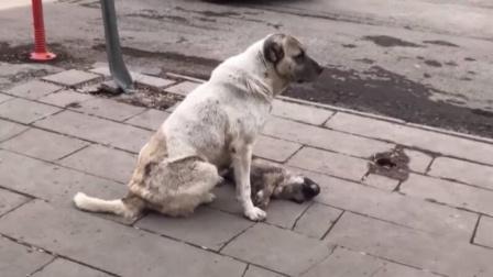 小狗跟随狗妈过马路时被车撞死 随后发生的一幕让人心碎