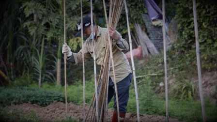 深圳最后的菜农:菜地变高楼,自己像一只掉队的鸟