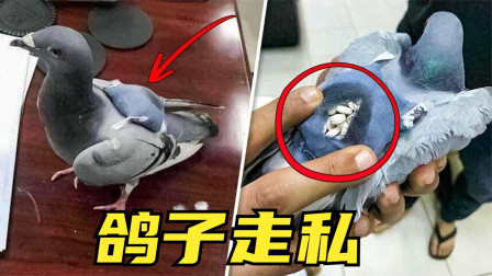 4个历史上最奇葩的走私方式,鸽子不仅能送信,背个包就能走私?