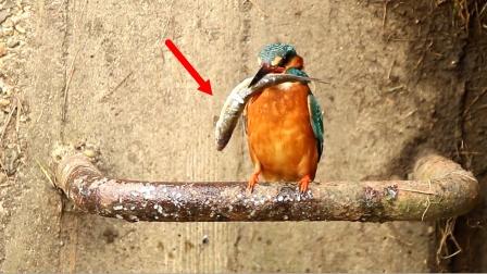 """活生的""""凌迟""""!翠鸟将鱼敲个半死再生吞!"""