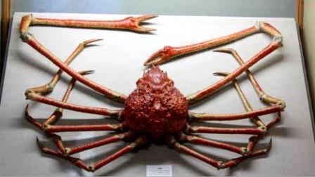 """""""杀人蟹""""是自然产物,还是核辐射导致的?"""