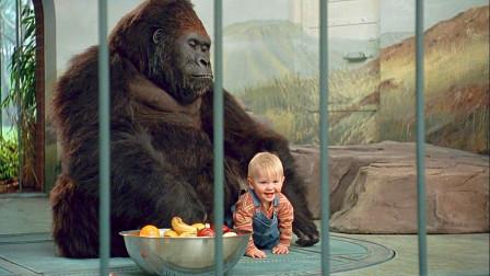 熊孩子被劫匪抓走,受到动物园大猩猩保护,劫匪都不敢靠近!