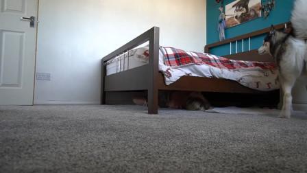 铲屎官藏在床底下,哈士奇能找到吗?结局笑翻了