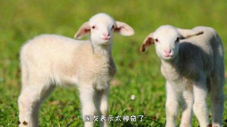 农场生下罕见的双头羊,主人把它当成宠物饲养,网友:太神奇了