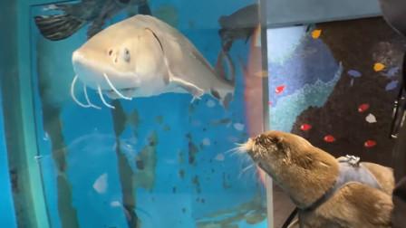 主人带着水獭去水族馆,搞笑的一幕发生了,太逗了哈哈