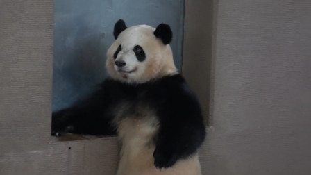 熊猫团子讨吃的,一本正经跟个人似的,怕不是成精了吧?